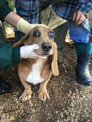 A dog with a bulging eye was one of the many dogs with disturbing medical problems found at Samples Creek Kennel, a Missouri puppy mill owned by Pamela Baldwin, who has been in all five of The HSUS's prior Horrible Hundred reports (MO Dept of Ag/2017).