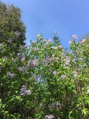 Sunny Fields boasts the largest collection of lilacs in the state.