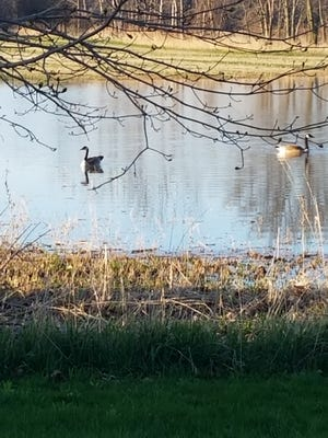 This pair of Canadageese settled into the pond in my flooded alfalfa field to rest and grab a bite to eat. Using my goose call, I messed with these geese for more thanan hour before they took flight for another location.