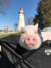 Oliver the pig visits the Marblehead Lighthouse.