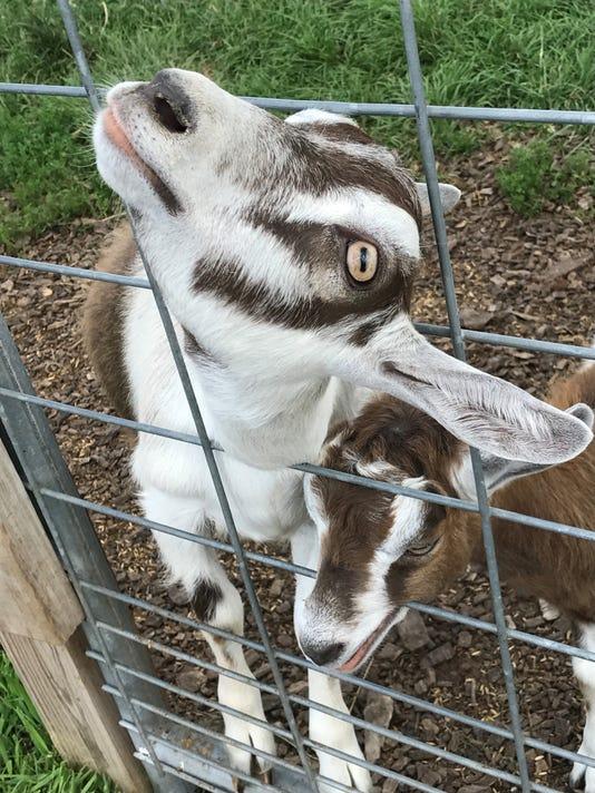 LaClare-goats.jpg