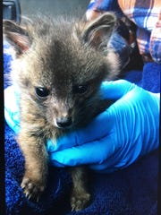 A weeks-old island fox pup was found alone on a road