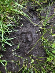 Elk tracks along the edge of Black Wolf Meadow.