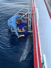 "Researchers from the Harte Research Institute at TAMU-CC tag a mako shark named ""Martie."" They use the research from the tagging and track sharks movements around the Gulf of Mexico."