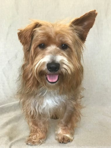 Andrew is a 1-year-old, 15-pound Yorkshire terrier