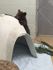 A bear cub found near Ojai was in good condition at a wildlife center in Ramona.
