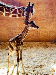 This photo provided by Animal Adventure Park shows April the Giraffe with her new male calf on Saturday, March 16, 2019 in Harpursville, N.Y.