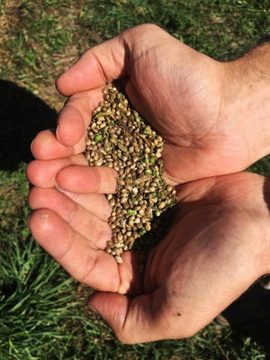 Seeds from a 2016 hemp crop in Eaton, New York. Farmers across New York jumped into the crop last year, planting an estimated 6,000 acres to be used in the production of CBD.