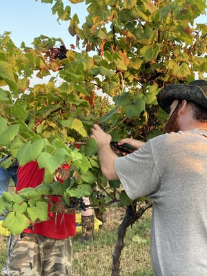 David Jackson and Jeremy Hodges pick grapes at Post Winery in Altus during the recent harvest season. Grapes in Arkansas wine country start being picked in late August and the harvest continues through October for different grape varieties.