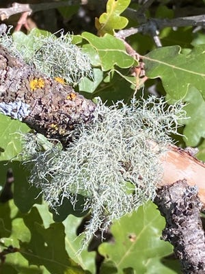 Lichens can grow on almost any surface and can be found ranging from sea level to alpine elevations. [COURTESY PHOTO/NATURE