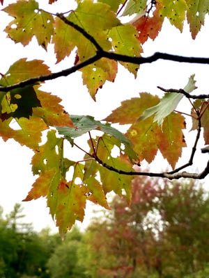 Contrary to popular belief, it isn't the cold or an early frost that starts off the biochemical cascade that results in fall color. Instead, it is a growth process triggered by day length.