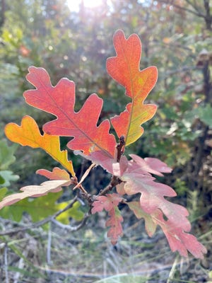 Oak leaves display a rainbow of fall colors in Pueblo Mountain Park in the Beulah Valley.