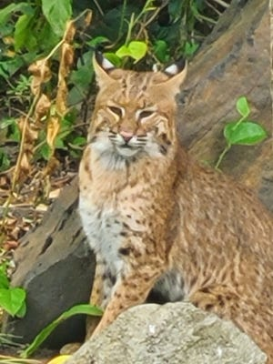 A bobcat seems right at home in a Rhode Island woman's backyard.