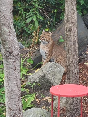 The bobcat seemed right at home in the yard and stayed for five to 10 minutes, Maria Croft estimates.
