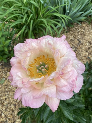 The peony is a popular perennial.