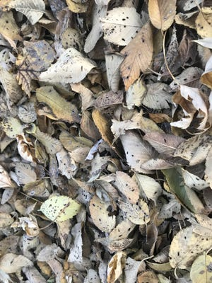 Dealing with  fallen leaves is a chore for many people.