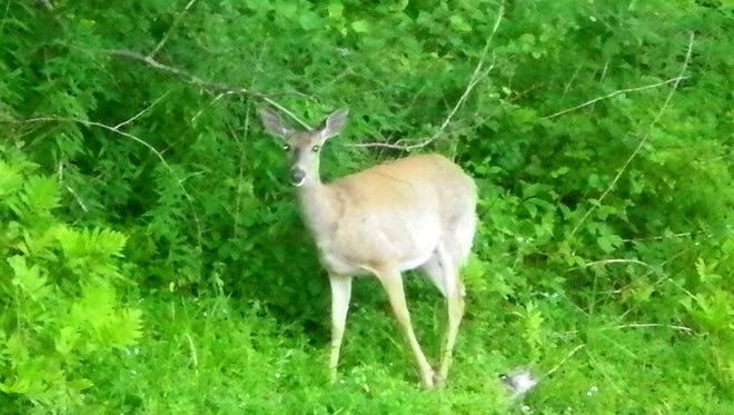 A whitetail doe seems surprised to see the photographer.