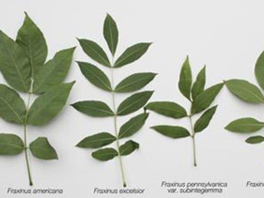 ash-tree-leave-back