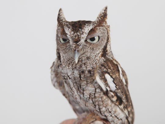 A screech owl named Edgar, which is one of many animal ambassadors Busch Gardens uses to educate the public, visits The News-Press photo studio on Wednesday.