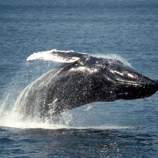 Humpback whales are often seen near the Farallon Islands, Calif., about 30 miles west of San Francisco.