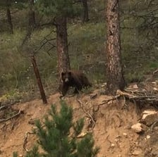 One of the two bears that crashed a Boulder wedding.