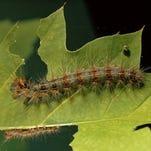 Gypsy moths stripping trees, on destructive tear in Northeast