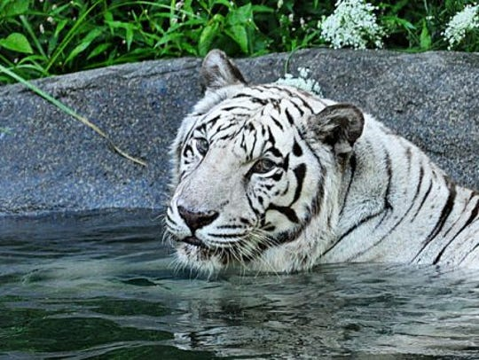 Akere, a 21-year-old male white tiger, died Thursday