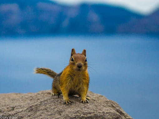 A ground squirrel demands a photo at Crater Lake. On