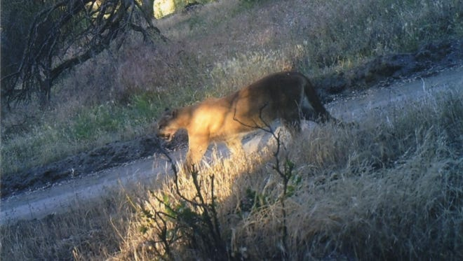 A mountain lion near Badger in Tulare County.