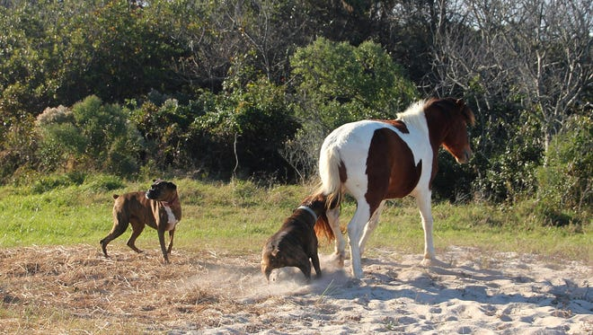 A series of photographs capturing an interaction between two dogs and an Assateague horse on Sunday, Oct. 29 is under investigation by National Park officials.