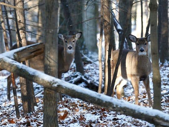 Deer inside the Binghamton University Nature Preserve on Dec. 13, 2017.