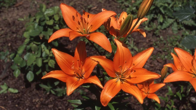 A true lily, unlike a daylily, blooms for several days and has a pleasant fragrance. See them on display at the Lily Show this weekend at Kingwood Center Gardens.