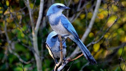A few Florida scrub-jays inhabit St. Lucie County.