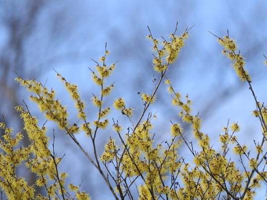 A witch hazel is in bloom in Highland Park.