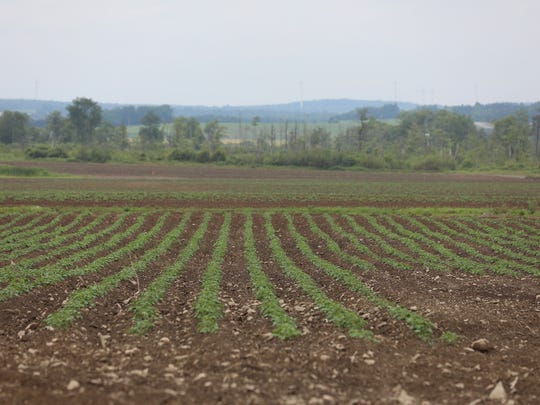 Marquart Farms now stagger their potato planting. This field was planted just weeks ago.