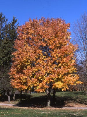Those living in northern and Midwestern states enjoy the beauty of change in deciduous tree color in the fall. The maple tree is a favorite for orange, yellow and red foliage.