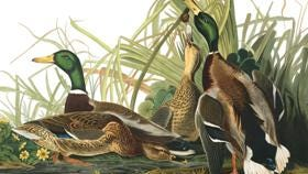 """Audubon's """"The Birds of America"""" exhibition opens May 7 at the Paine Art Center and Gardens in Oshkosh."""