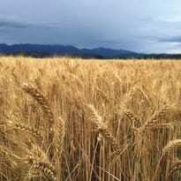 Winter wheat ripens near Flathead Lake.