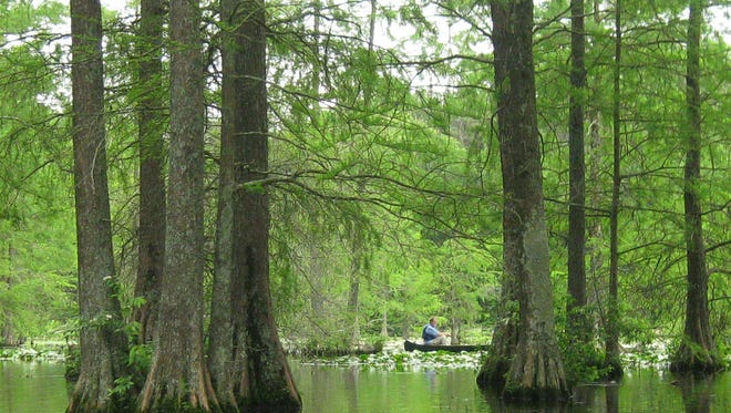 A canoer glides amidst the bald cypress trees and lily pads of Trap Pond State Park. The southern part of Trap Pond is home to the thickest stands of bald cypress.