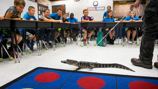 """Mrs. Berger's fourth grade class laughs and smiles as Little Jimmy the alligator walks around the classroom during an """"Alligator 101"""" presentation by FWC alligator trapper Ray Simonsen at Laurel Oak Elementary on May 25, 2017."""