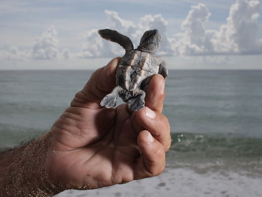 GTY SEA TURTLES COMPLETE YEARLY HATCH A ENV USA FL