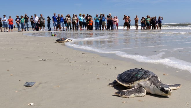 In this April 22, 2014  file photo, a group of people watch a turtle swim to the ocean after rehabilitation Tuesdat in Jacksonville. The Obama Administration is opening the Eastern Seaboard to offshore oil exploration for the first time in decades.