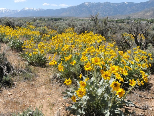 Balsamroot bloom in Carson City in 2013.