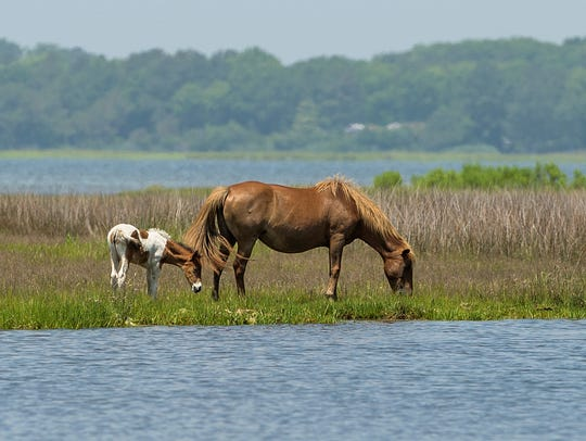A wild horse grazes with her foal in the marsh at Assateague Island. Visitors to Assateague Island National Seashore