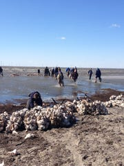 Volunteers build two reefs with bags of shells at Reeds