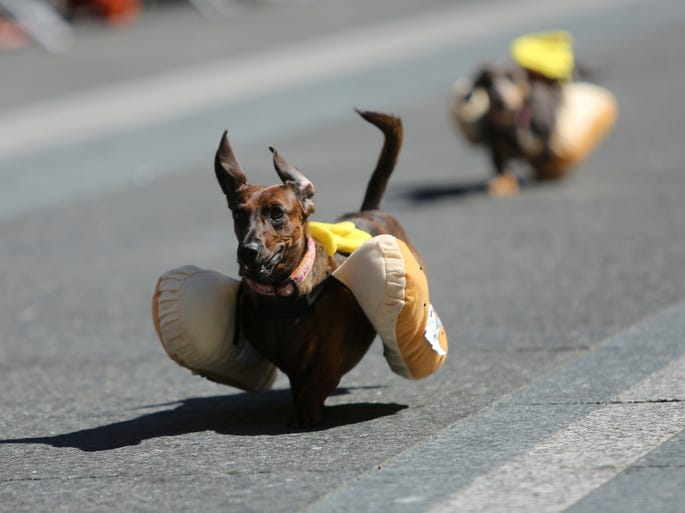 15723267 further 25100519 besides 15917265 as well 15723267 likewise 16029223. on weiner dog races cincinnati