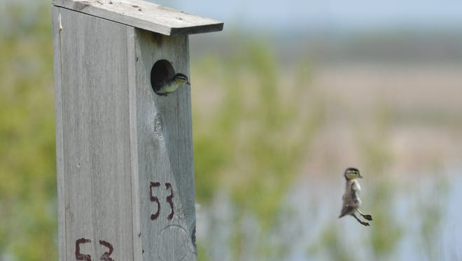 A wood duck duckling leaps from its nest box while another hatchling prepares to jump in an image taken May 19, 2016, near Horicon. A tree swallow, a species that also often nests in the boxes, observes the proceedings from the roof of the box.