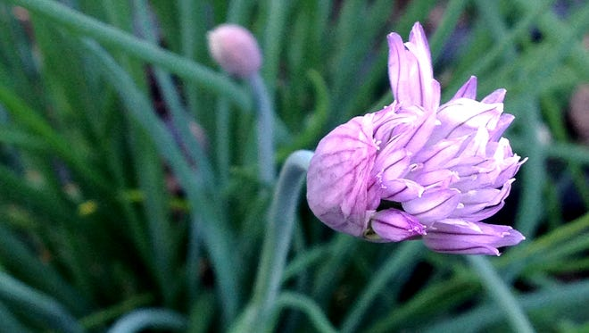 Chive blossoms are both pretty and tasty in a salad.