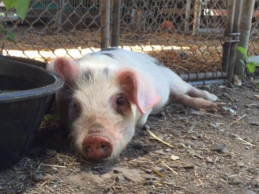 I-5 pig