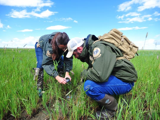 Montana Fish Wildlife and Parks game wardens, Kqyn Kuka, left, and Trenten Farmer photograph a grizzly track at Benton Lake National Wildlife Refuge.